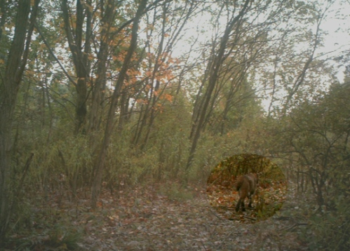 Bobcat photo hi lited
