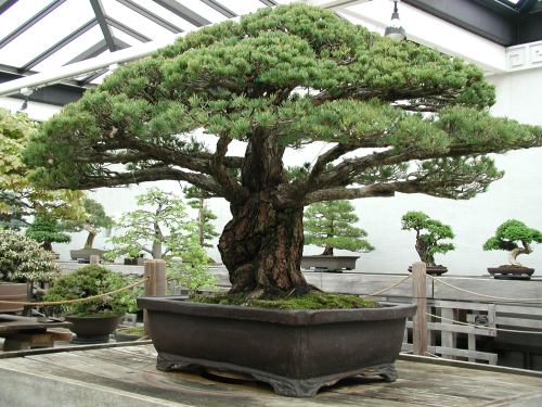Hiroshima Survivor Bonsai US National Arboretum