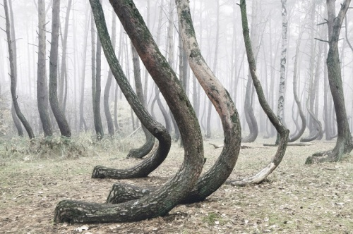 Crooked Forest Poland 2 photo by Kilian Schonberger