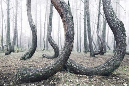 Crooked Forest Poland 3 photo by Kilian Schonberger