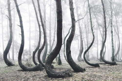 Crooked Forest Poland photo by Kilian Schonberger