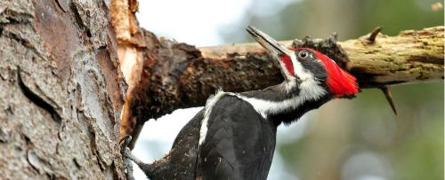 Pileated Woodpecker Detail
